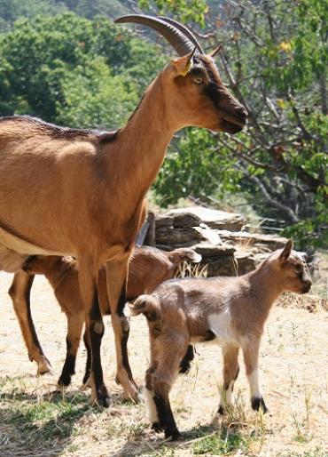chèvre et ses petits