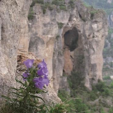 Flore des Gorges du Tarn
